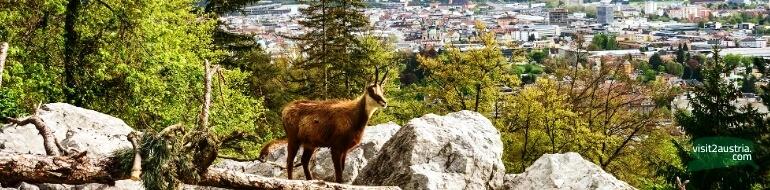 зоопарк инсбрук